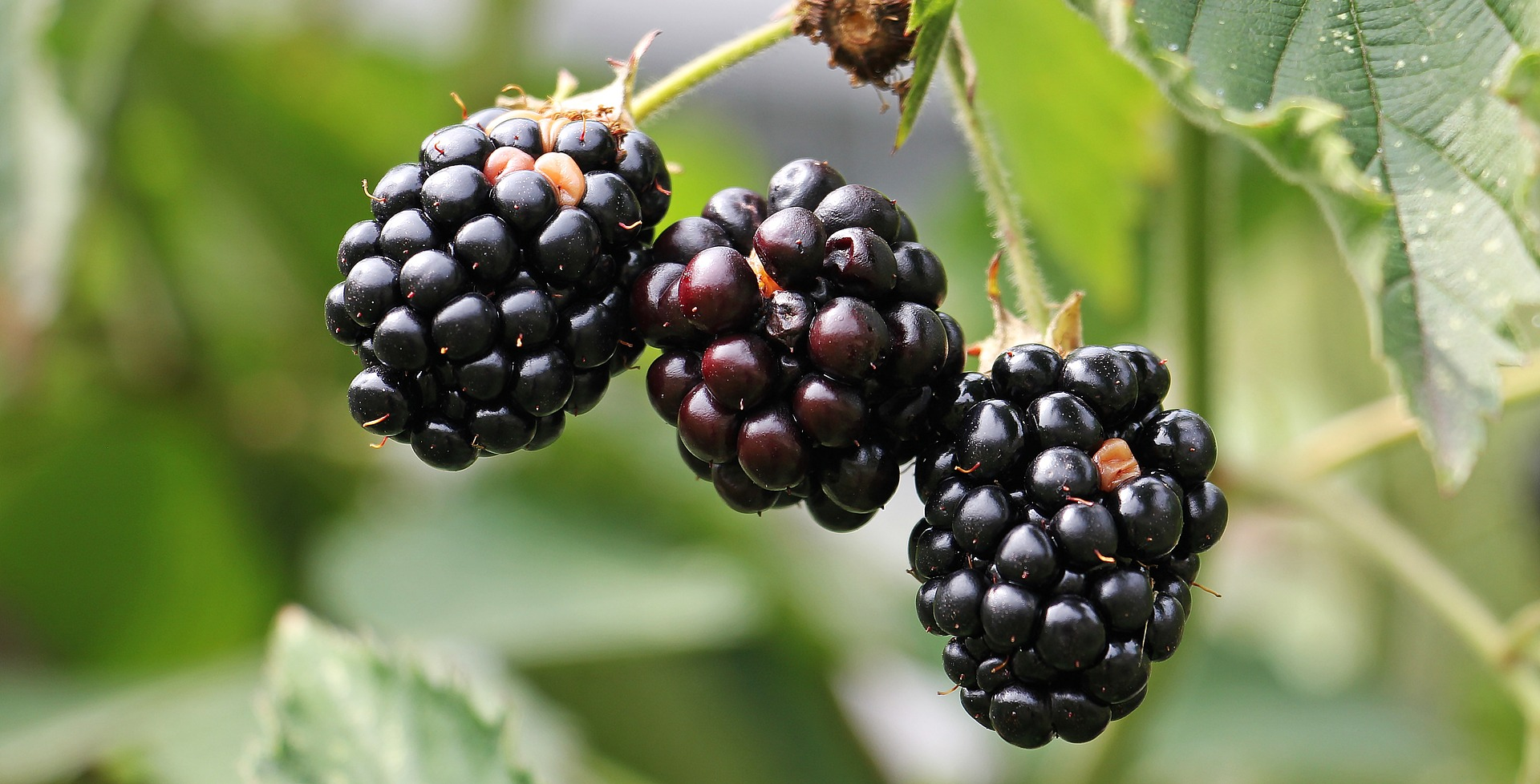 Researcher examines berry polyphenols as potential treatment for cardiovascular treatment